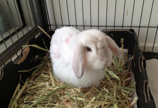 приучить карликового кролика лотку