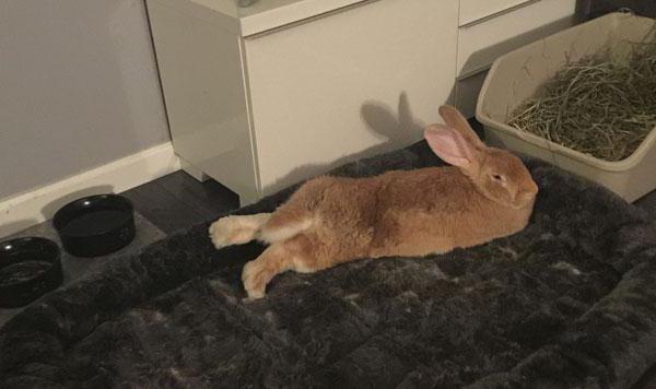 как приучить декоративного кролика к лотку