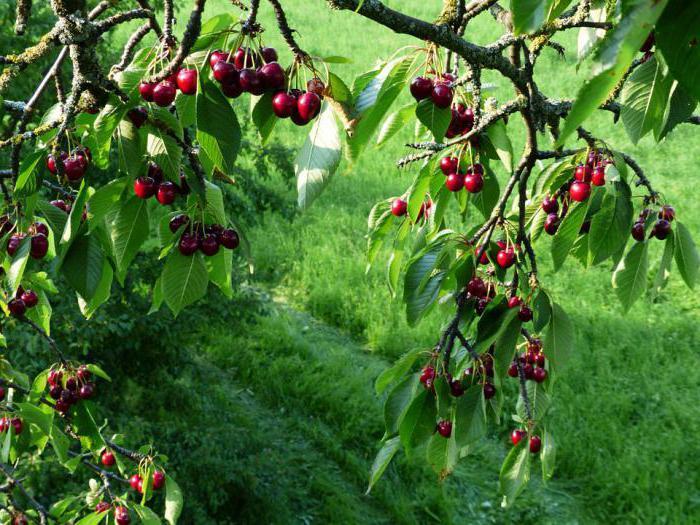 Черешня, галочка - Плодово-ягодные деревья и кустарники - купить саженцы