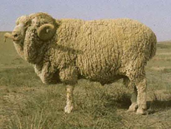 породы овец тонкорунные