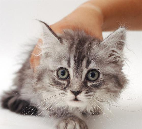 у кошки насморк и чихает как лечить