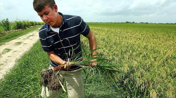 рис в краснодарском крае