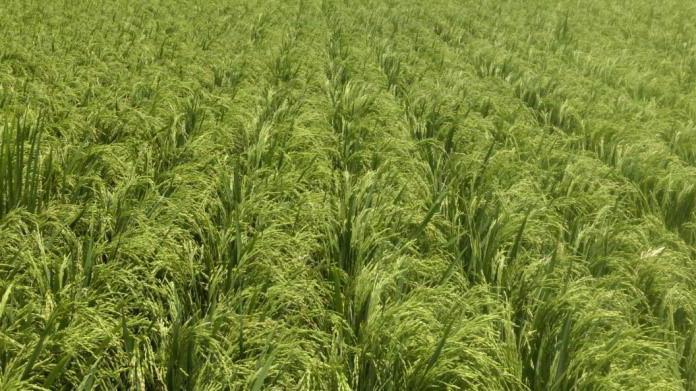 выращивание риса в краснодарском крае