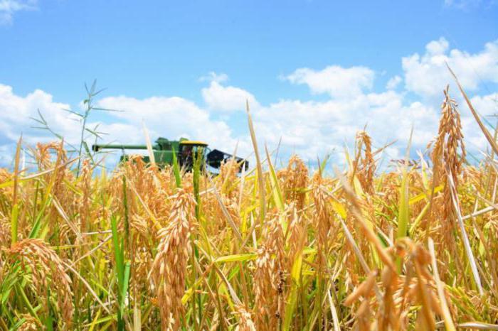 рис краснодарский круглозерный