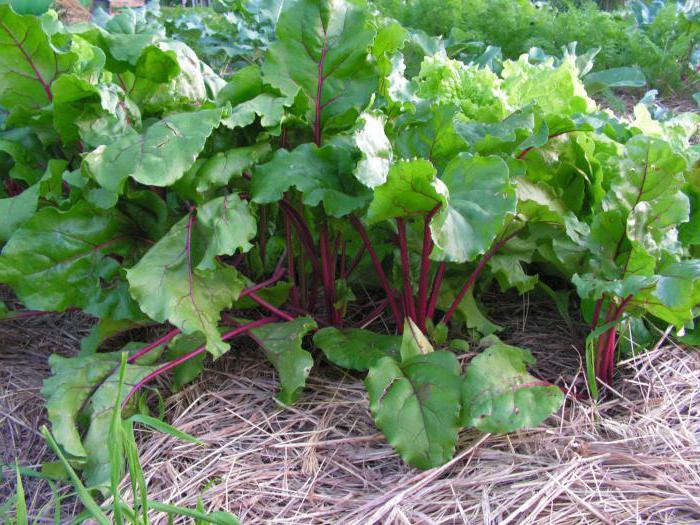 семена свеклы гавриш f1 пабло