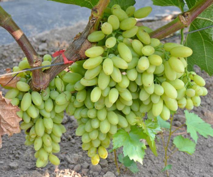 Виноград кишмиш столетие описание сорта фото отзывы
