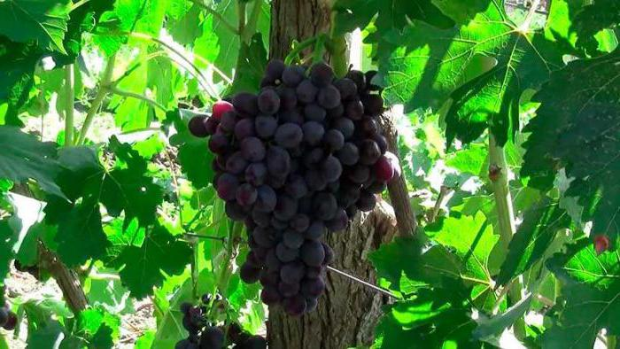 виноград заря несветая фото