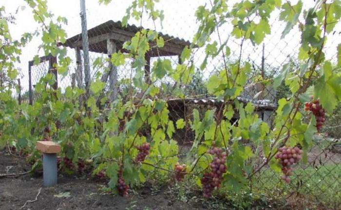 Сорт винограда гурман ранний описание