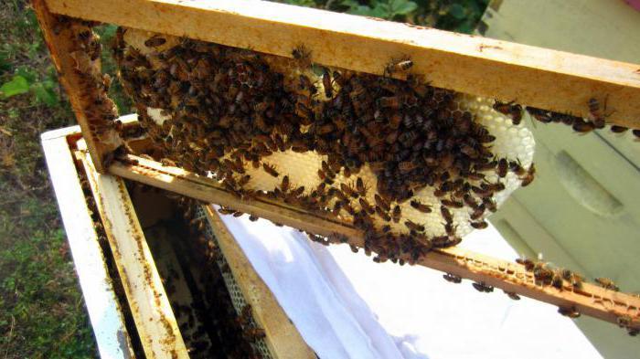 Как в августе сделать отводок пчел 129