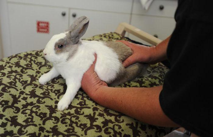 Как отличить самку от самца кролика? Разведение кроликов для начинающих