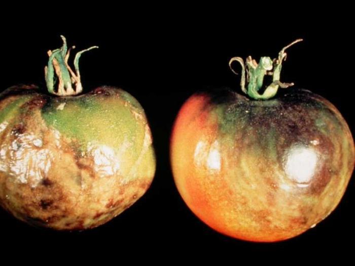 Растения томаты