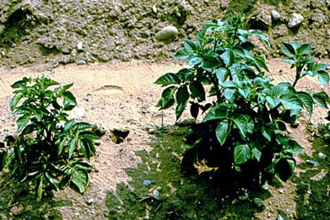 щавель выращивание из семян