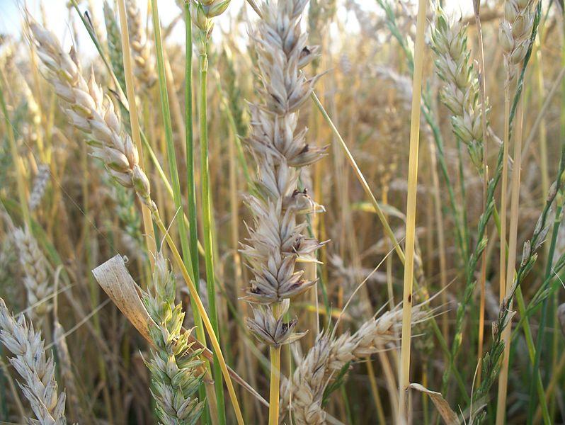 маленькие увидеть головня пшеницы фото как выглядит фото