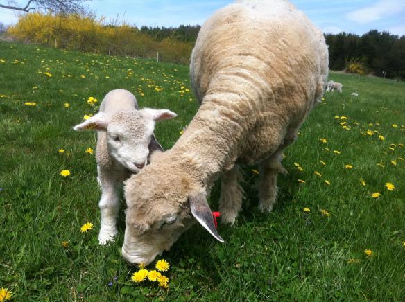 Выпас овец на пастбище