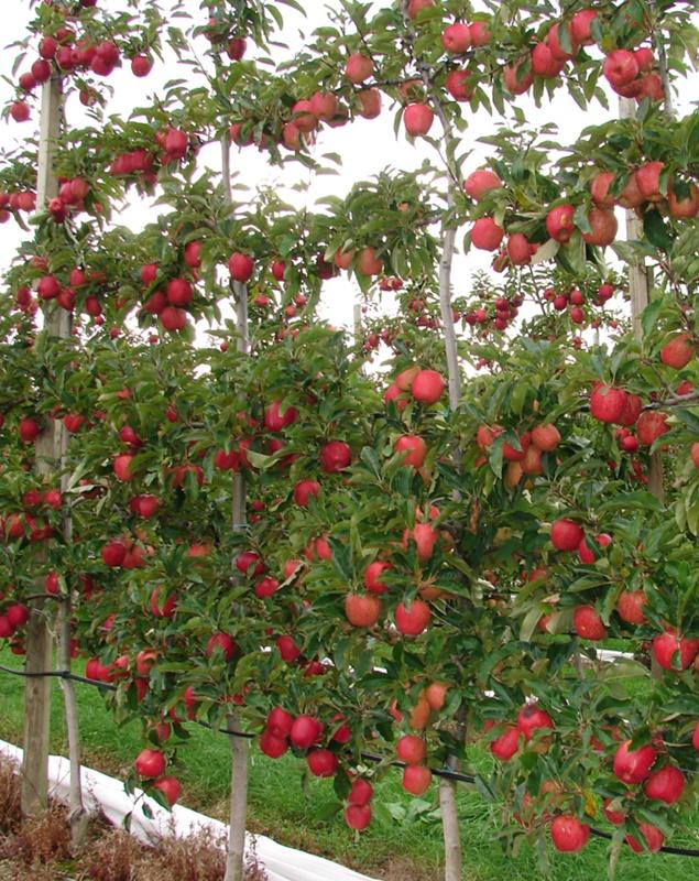 Формирование кроны яблонь