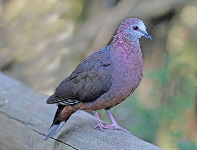 Породистые голуби