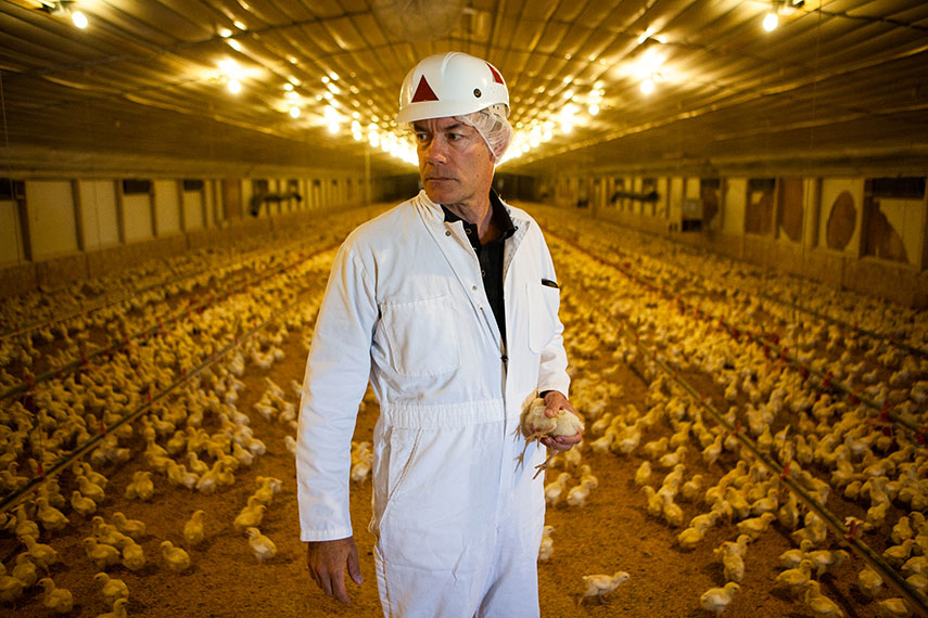 Использование антибиотиков на птицефабриках