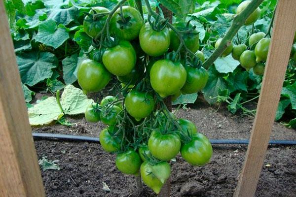 Как растут томаты Тарасенко