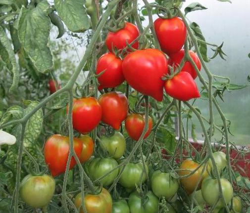 Выращивание томатов Тарасенко