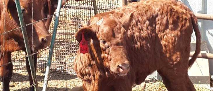 Корова с гиподерматозом