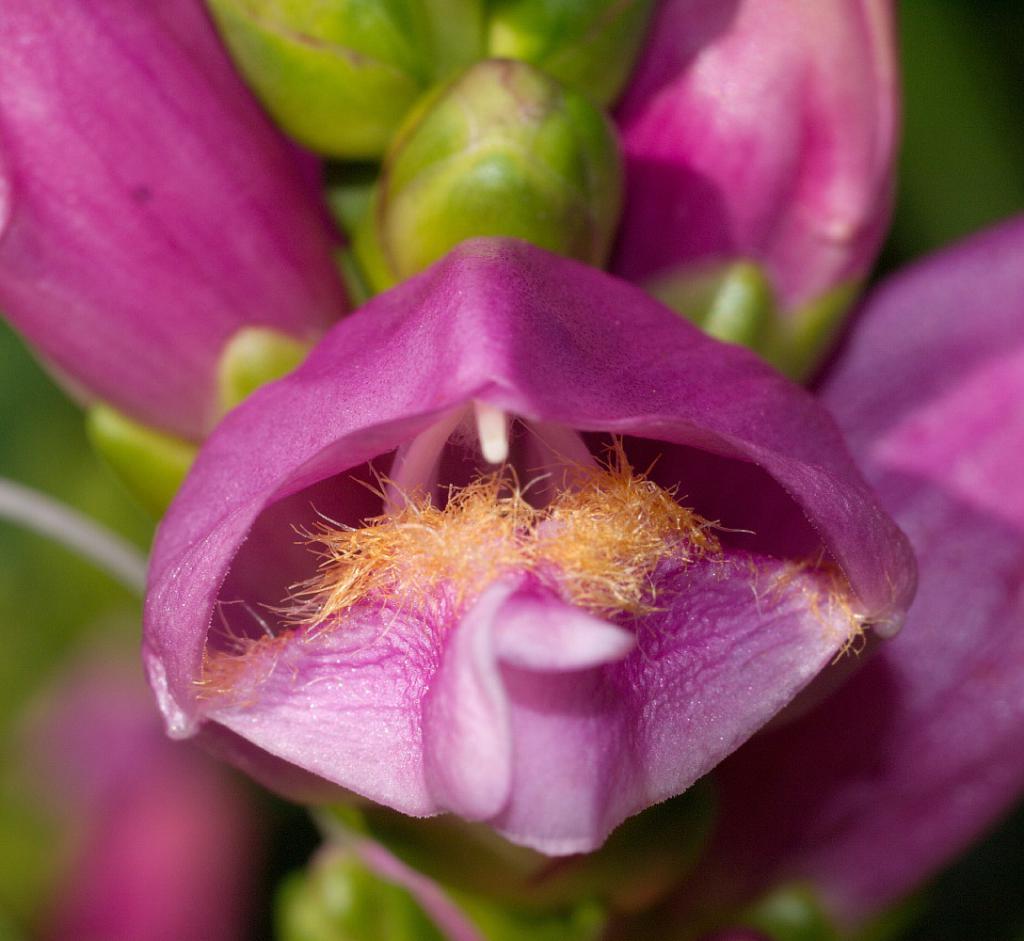 Цветок хелоне косой