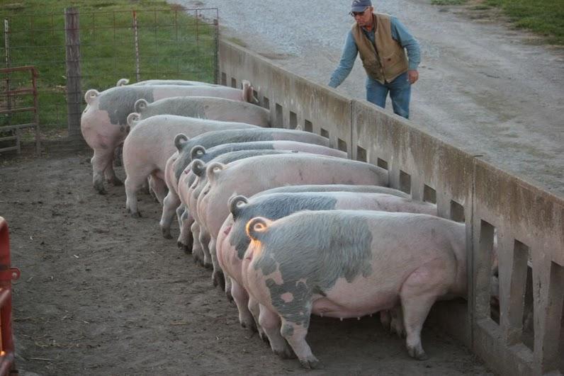 Кормление свиноматок