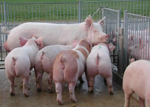 Свиноматка с потомством