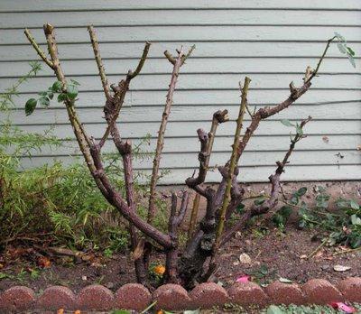 Обрезать ли розы на зиму
