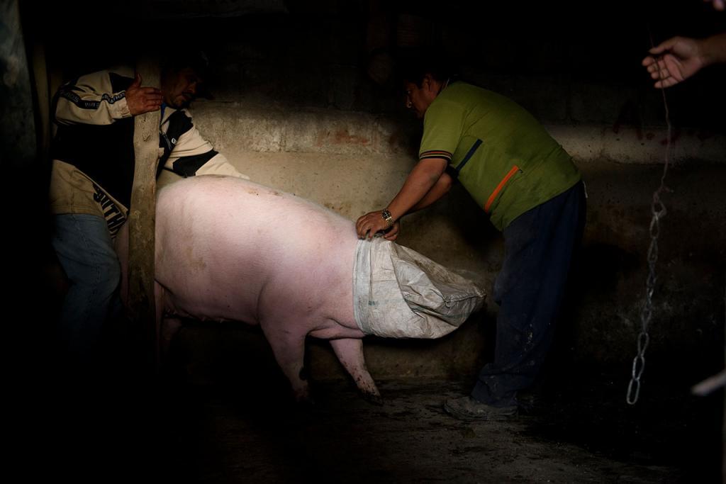 Как вывести свинью из загона