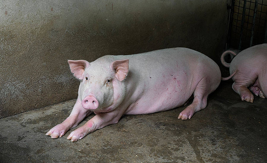 Подготовка свиней к убою