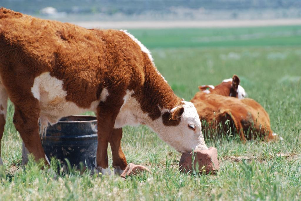 Кормление коров в запуске