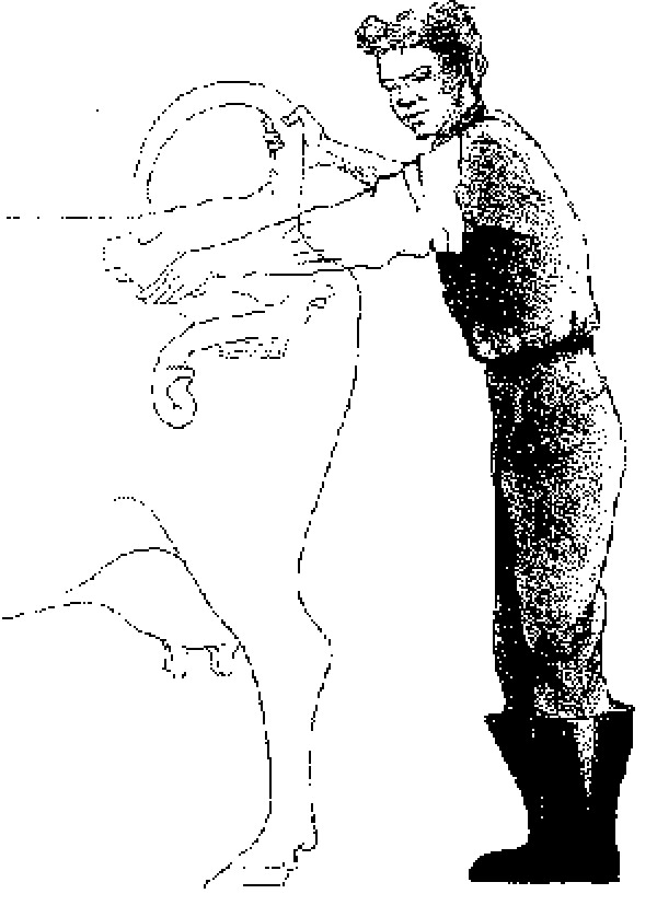 Пальпация беременной коровы