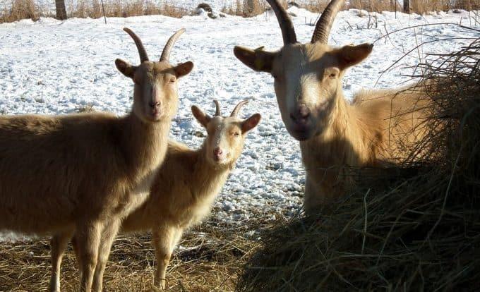 Содержание коз зимой