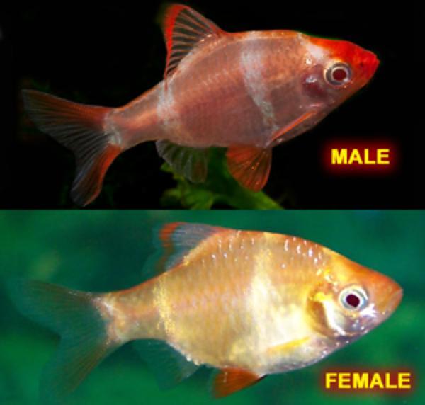 Самец и самка барбуса