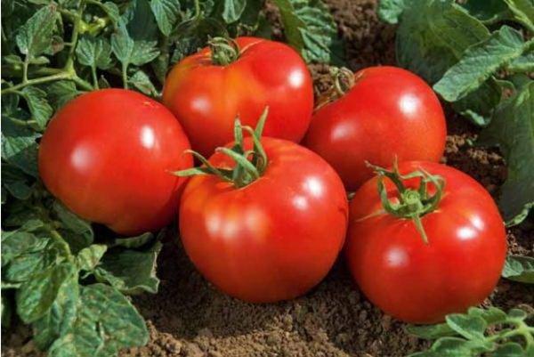 день пожилого томат киржач отзывы фото держим
