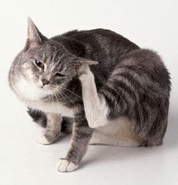 ушные клещи у кошки лечение