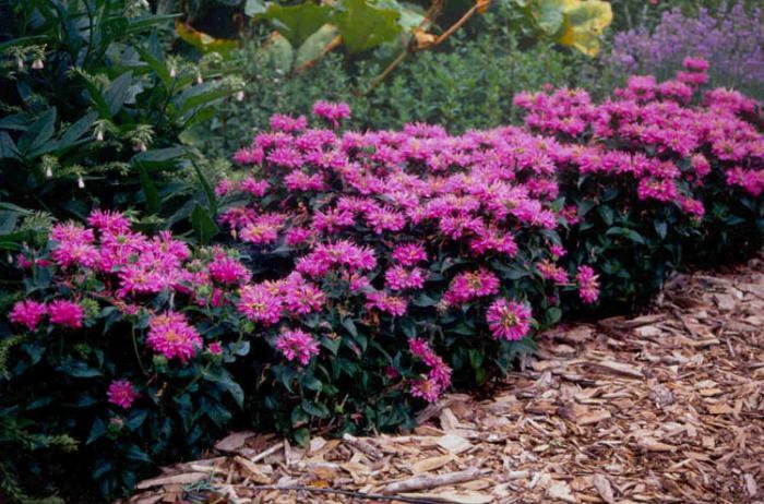 Цветы многолетники для дачи фото