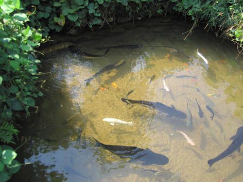 пруд разведение рыбы