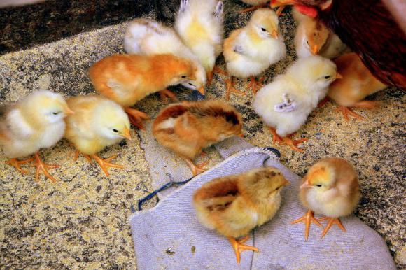 Байтрил как давать цыплятам