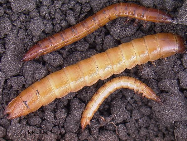 Почему морковь трескается в земле?