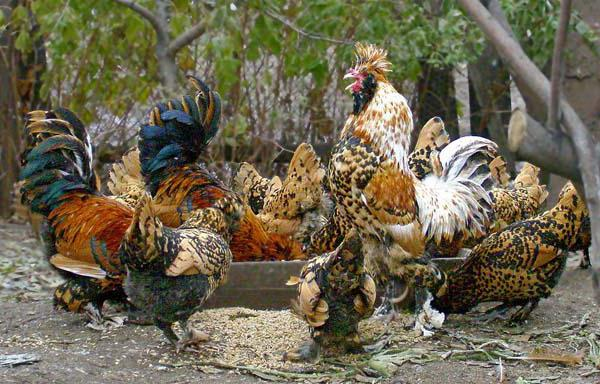 пушкинская порода кур