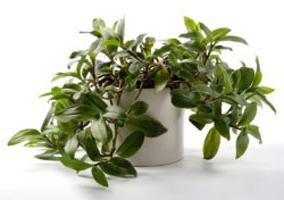 Традесканция родина растения