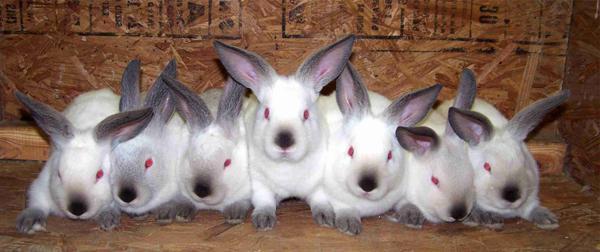 размножение кроликов в зимний период