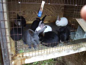 декоративные кролики размножение