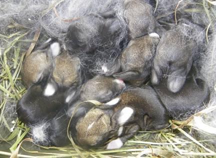 случка декоративных кроликов