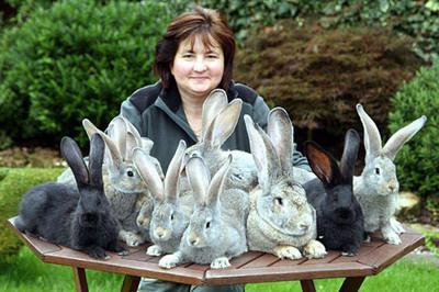 случка калифорнийских кроликов