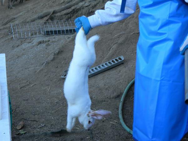 сколько растет кролик до забоя