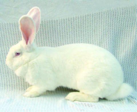 кролики порода белый великан