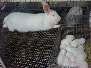 кролики порода белый великан разведение [