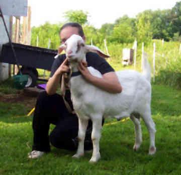 козы нубийской породы фото